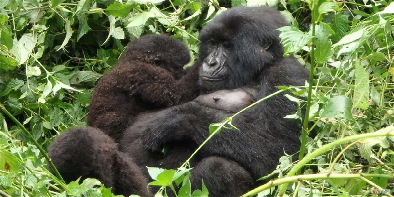 GORILLA SAFARIS RWANDA VOLCONOES NATIONAL PARK, ATTRACTIONS, ACTIVITIES, WHERE TO STAY, WHAT TO DO, VOLCANOES, NATIONAL, PARK, RWANDA,TOURIST, BISATE LODGE, GOVERNORS LODGE, CAR HIRE, RENTAL, PERMITS, WHAT TO BRING, SEE, SABYINYO SILVERBACK LODGE