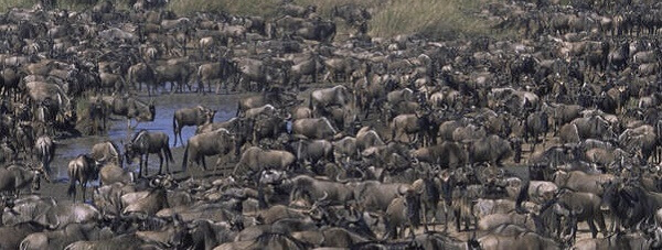 serengeti national park attractions, activities serengeti national park,  activities, serengeti national park activities, attractions serengeti national park, wildebeest migration safaris, wildebeest migration masai mara serengeti, best offers, discounted rates, serengeti national park accommodation, accommodation serengeti national park, serengeti national park lodges, lodges serengeti national park, wildebeest, migration, safaris, kilimanjaro, serengeti, masai mara, ngorongoro, lake manyara, tarangire, lake, ndutu, natron, oldeani, olduvai, gorge,discounts, top, range, famous, luxury, luxurious, popular, luxury lodges, tented camps, camping