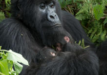 Gorilla Tracking Rwanda, Dian Fossey, hiking, Trekking safaris Serengeti, Masai Mara volcanoes National Park